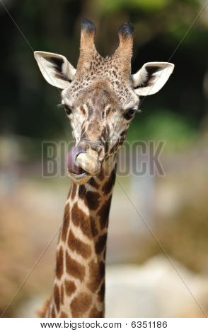 african reticulated giraffe  showing long tongue by licking its nose