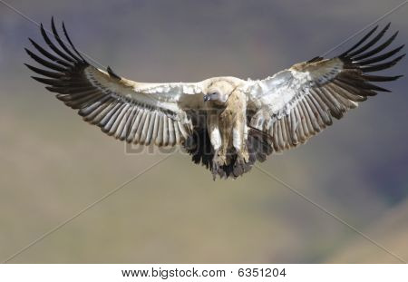The Cape Griffon Or Cape Vulture