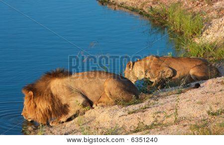 Lion (panthera Leo) And Lioness