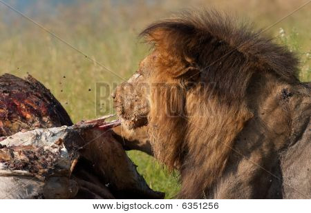 Lion (panthera Leo) Eating