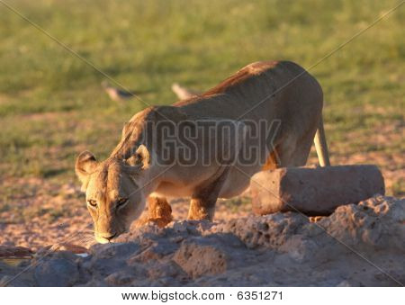 Lioness (panthera Leo) Drinking Water
