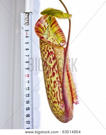Little Nepenthes Miranda Pither