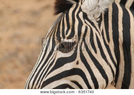 Zebra close-up