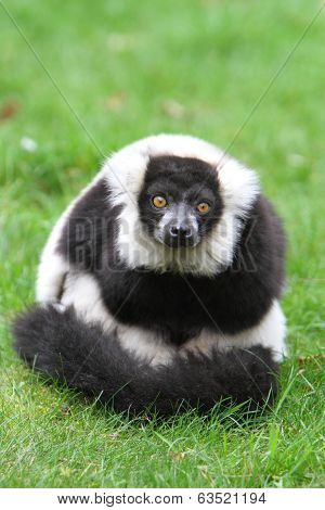 Black And White Ruffed Lemur(varecia Veriegata)