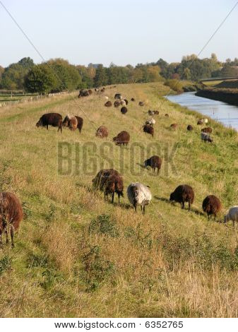 Heidschnucken Graze At Dike In The North Of Germany