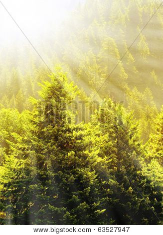 View of forrest of green pine trees on mountainside with warm glowing sunlight