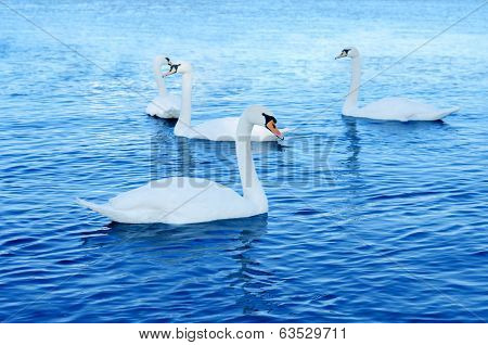 Gorgeous Swans In The River