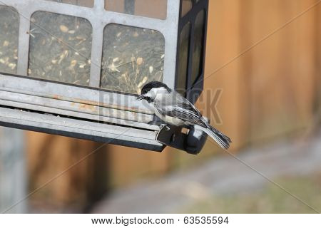 Chickadee, Black-capped