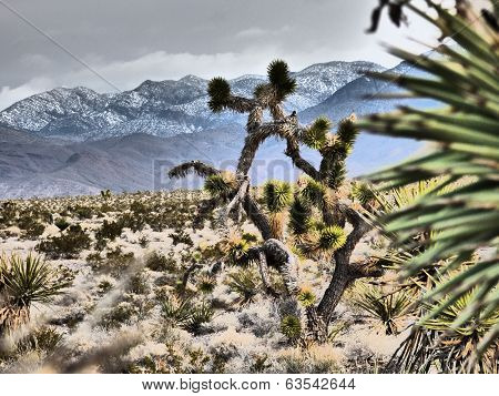 Dramatic Joshua Tree Cactus Snowy Mountain