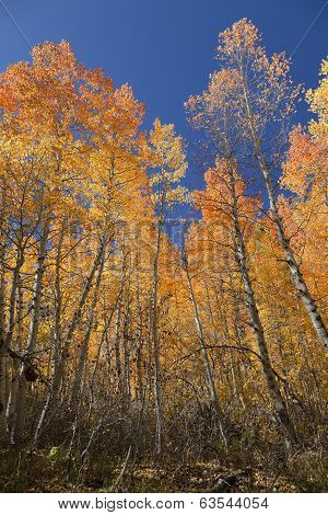 Quaking Aspens Against Sky