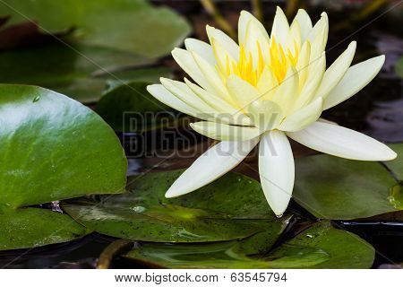 Yellow Lotus Flower Or Water Lily Flowers.