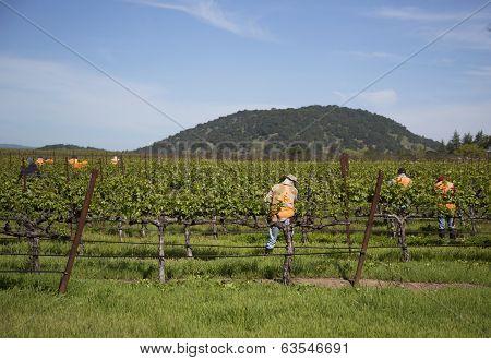 Workers pruning wine grapes in vineyard