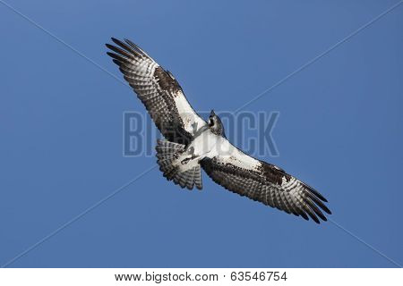 Osprey Soars In The Sky.