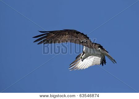 Osprey Flaps It Wings.