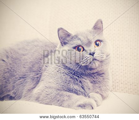 Pretty Blue British Cat With Yellow Eyes On The Couch