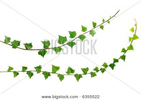 Two Ivy Branches