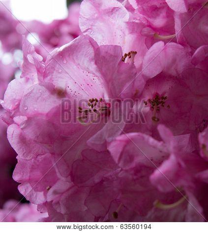 Rododendron Bloosom