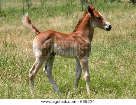 Proud Foal
