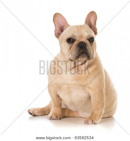 french bulldog sitting looking at viewer isolated on white background