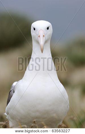 Royal Albatross (Diomedea epomohora)