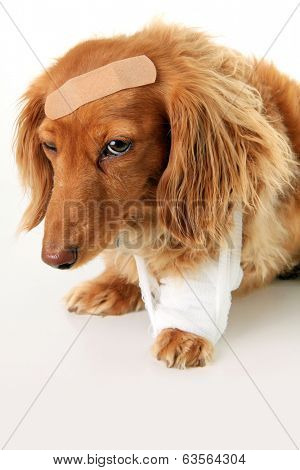 Dachshund dog wearing a bandage and band aid.
