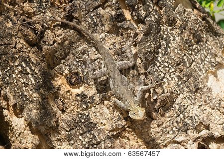 Agama Lizard Hidden Against The Bark Of A Tree