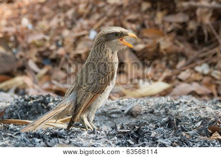 Yellow-billed Shrike Standing In Ashes With Its Mouth Wide Open
