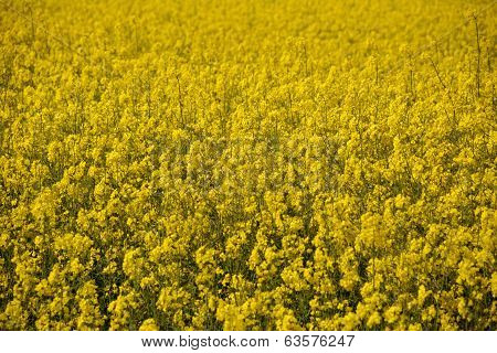 Bright Yellow Oilseed Rape Flowers