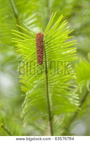 Wollemi Pine Tree