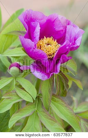 Pink Paeony Flower
