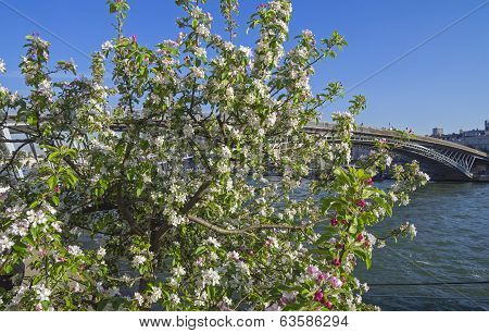 Apple Blossom On The Banks Of The Seine In Paris.