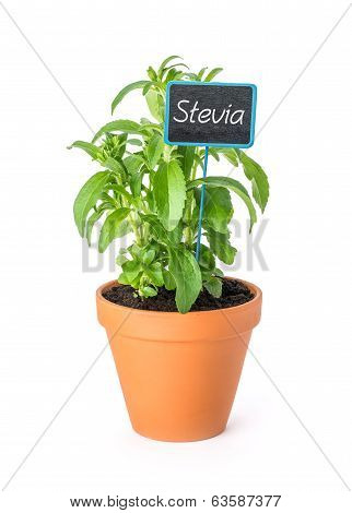Stevia in a clay pot with a wooden label