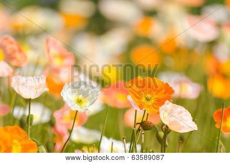 Spring Poppy Background