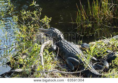 Two Alligators At Everglades National Park