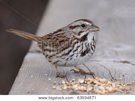 Eating Song Sparrow