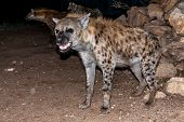 pic of hyenas  - Written records indicate that spotted hyenas have been present in the walled Ethiopian city of Harar for at least 500 years.