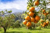 foto of orange-tree  - Close up fresh orange on plant - JPG