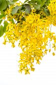 pic of cassia  - Yellow Golden shower Cassia fistula flower on tree isolate white background - JPG