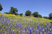 pic of wildflowers  - Spring Lupine and California Poppy wildflowers with White Oak trees Northern California sierra foothills - JPG