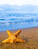 picture of starlet  - Fallen Star Sea Starlet  - JPG