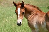 Foal Looking Around poster