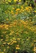 picture of black-eyed susans  - Many Gerber and black eyed susans in the garden - JPG