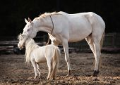 picture of breed horse  - Akhal Teke mare and a stallion of american miniature horse breed - JPG
