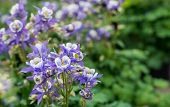 stock photo of columbine  - Closeup of flowering Columbine or Aquilegia plants in their natural habitat in springtime - JPG