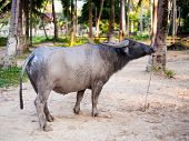 picture of carabao  - water buffalo on the sunset in Thailand - JPG