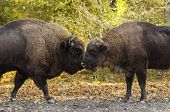 pic of female buffalo  - Buffaloes sniffing each other on autumn background - JPG