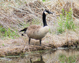 picture of honkers  - Candian goose getting ready to go  into the water for a swim - JPG