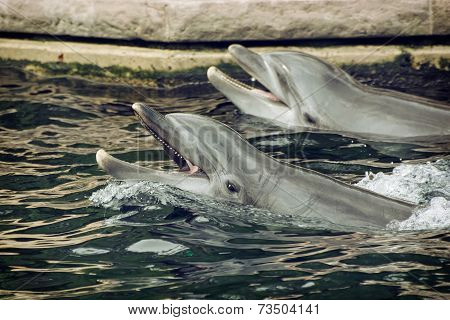 Two Bottlenose Dolphins In The Water