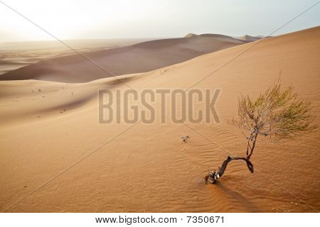 Small Tree In  Sahara Dunes.