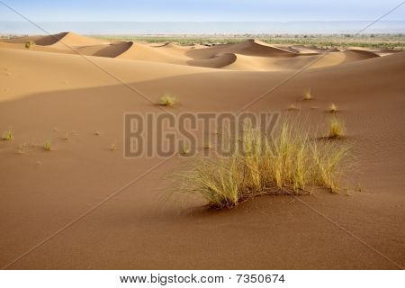 Plants In Sand Dunes In Sahara.
